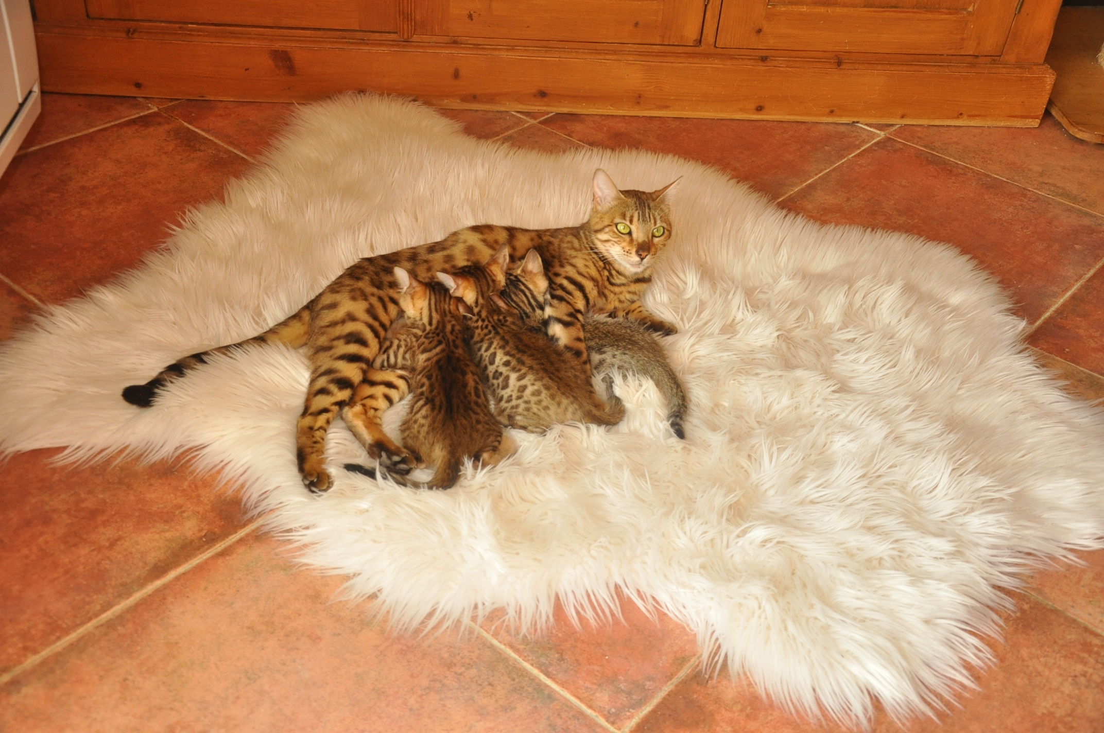 Chaton bengal france