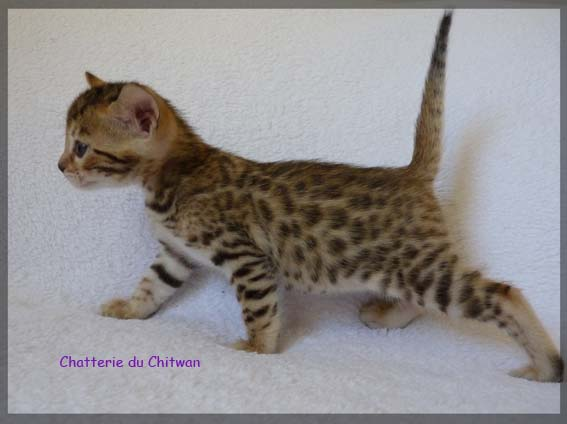 Bengal F6 toulouse