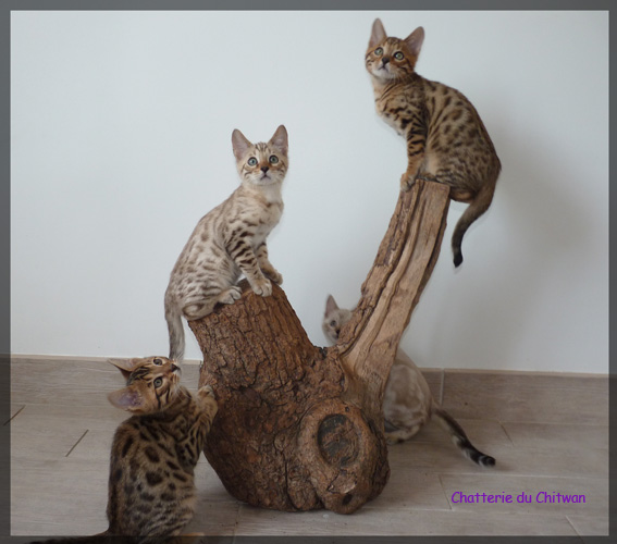 Chat bengal 1