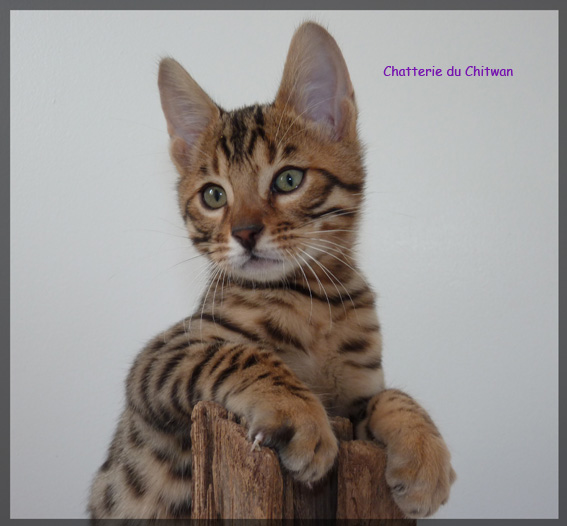 Chat bengal 4