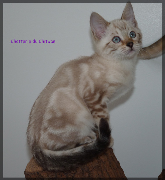 Chat bengal 6