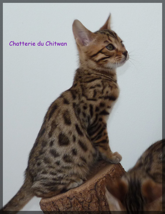 Chat bengal 8
