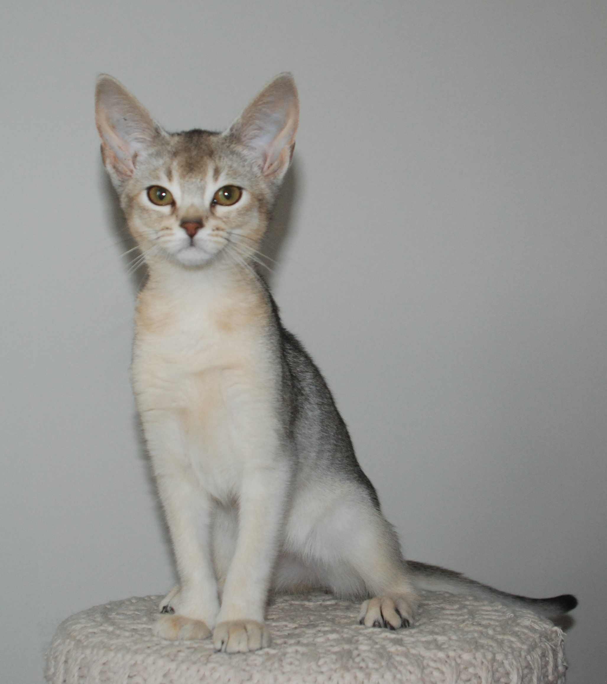 Chaton Abyssin Black Silver Ticked Tabby
